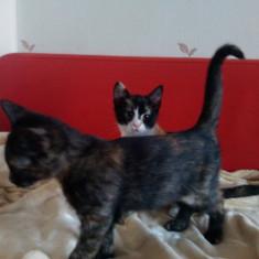 Donez pisicute - Pisica de vanzare