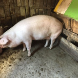 Porc de vânzare