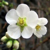 Chaenomeles speciosa 'Nivalis'  - Gutui japonez alb