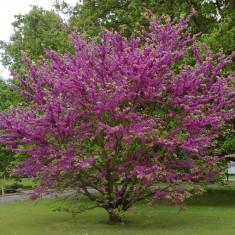 Cercis siliquastrum – Arborele de Iudeea