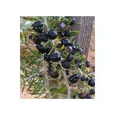 Seminte rare de Goji negru 100 bucati - Seminte de goji