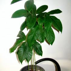 Pomisori de avocado sănătoși cu vârste de 2 și 3 ani - Pomi fructiferi