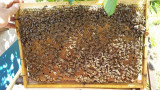 Matci selectionate si Familii de albine PNA@F.EU