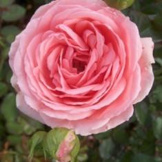 Trandafir Kimono (70-80 cm) - 10 bucati - Trandafiri