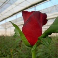 Trandafir Grand Gala (Theahibrid, 70-80 cm) - 10 bucati - Trandafiri