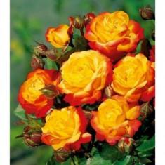 Trandafir Rumba (Talie mica, 50cm) - 10 bucati - Trandafiri