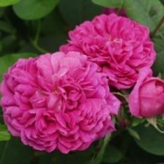 Trandafir Saschsengruss (Trandafir pentru dulceata) - 10 bucati - Trandafiri
