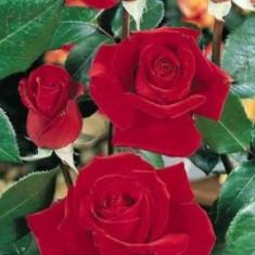Trandafir Sympathie (Urcator) - 10 bucati - Trandafiri