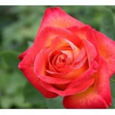 Trandafir Alinka (Floribunda) - 10 bucati - Trandafiri