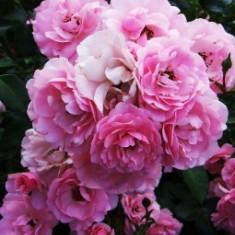 Trandafir Bonica (Floribunda - tufa) - 10 bucati - Trandafiri