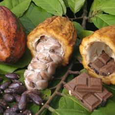 Seminte de Cacao adevarata ! RARITATE ! - Theobroma cacao- 1 samanta pt plantat - Pomi fructiferi