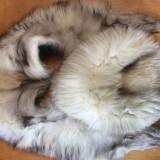 VULPE POLARA : SET CACIULA SI GULER VULPE ALBA ( CACIULA BLANA, GULER BLANA) - haina de blana