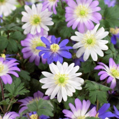Bulbi Anemone Blanda mixed