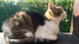 Pisică de curte