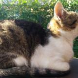 Pisică de curte - Pisica de vanzare