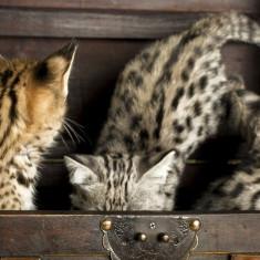 Pisoi Savannah disponibile - Pisica de vanzare