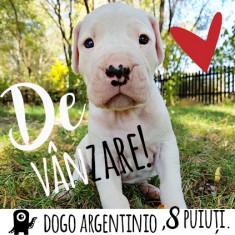 Pui de Caine Rasa Dogo Argentino in Timisoara :) - Caini