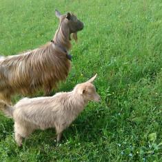 Capra si iada de rasa Golden Guersney - Oi/capre