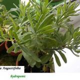 Lavanda-lavandula angustifolia - 300 seminte