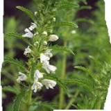 Mataciune - Dracocephalum Moldavica - 10 seminte