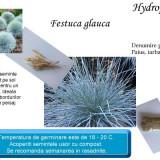Iarba albastra- festuca glauca - 20 seminte