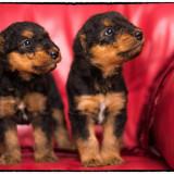 Vindem pui de Airedale Terrier cu pedigree de tip A.