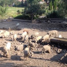 Purcei Mangalia cu Pedigree - Porci