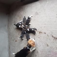 Catelusi Beagle de vanzare