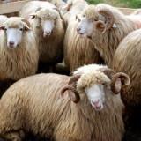 70 de oi de rasă pură