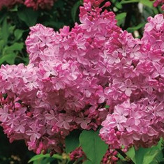Syringa Esther Staley – liliac roz