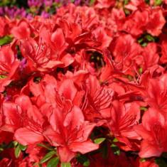 Rhododendron Fridoline - azalee japoneza