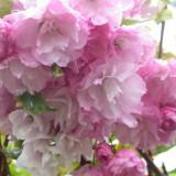 Prunus serrulata Pink Perfection - Cires japonez