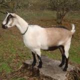20 de capre de rasă pură