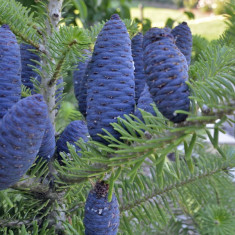 Abies koreana – brad corean
