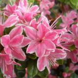 Rhododendron Kermesina Rose – azalee roz