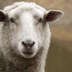 Vand 100 de oi si 2 berbeci!!! - Oi/capre