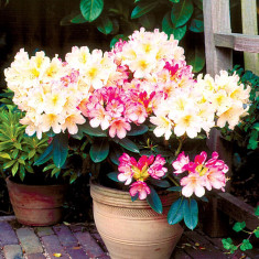Rhododendron Percy Wiseman - azalee japoneza