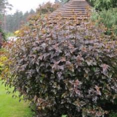 Physocarpus opulifolius Red Baron - fisocarpus