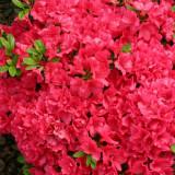 Rhododendron Canzonetta - azalee japoneza