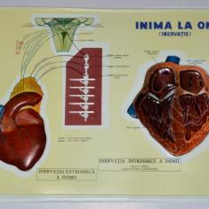 Plansa didactica perioada comunista, RSR - anatomie, inima la om (inervatie) - Afis