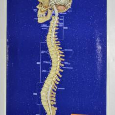 Plansa didactica perioada comunista, RSR - Anatomie, Sistemul nervos central - Afis