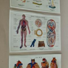 Lot 3 planse / plansa / didactice RSR - anatomie, inima, circulatia sanguina - Afis
