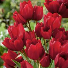 Bulbi Lalele Red Georgette multiflorale rosii pachet 6 bulbi