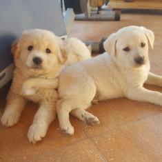 OFER catelusi din mama Labrador