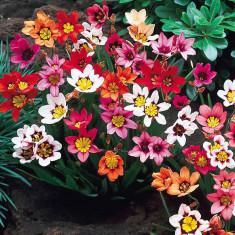 Bulbi de Sparaxis Tricolor pachet mixt 15 bulbi - Lalele
