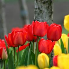 Bulbi Lalele Rosii si Galbene Mixte pachet 10 bulbi