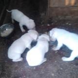 Dog argentinian - Caini