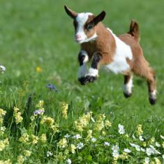 30 de capre si 6 iezi!!! - Oi/capre