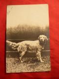 Ilustrata Caine Vanatoare , circulat 1902 Franta, Circulata, Fotografie