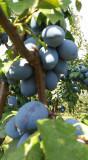 Livada Bunicii vinde din productie propie Tuica de Prune  naturala 0756216616
